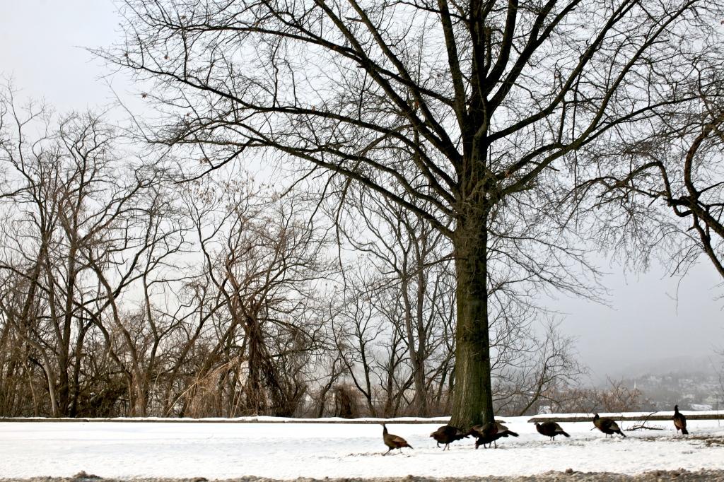 Wild Turkey in Urban Landscape