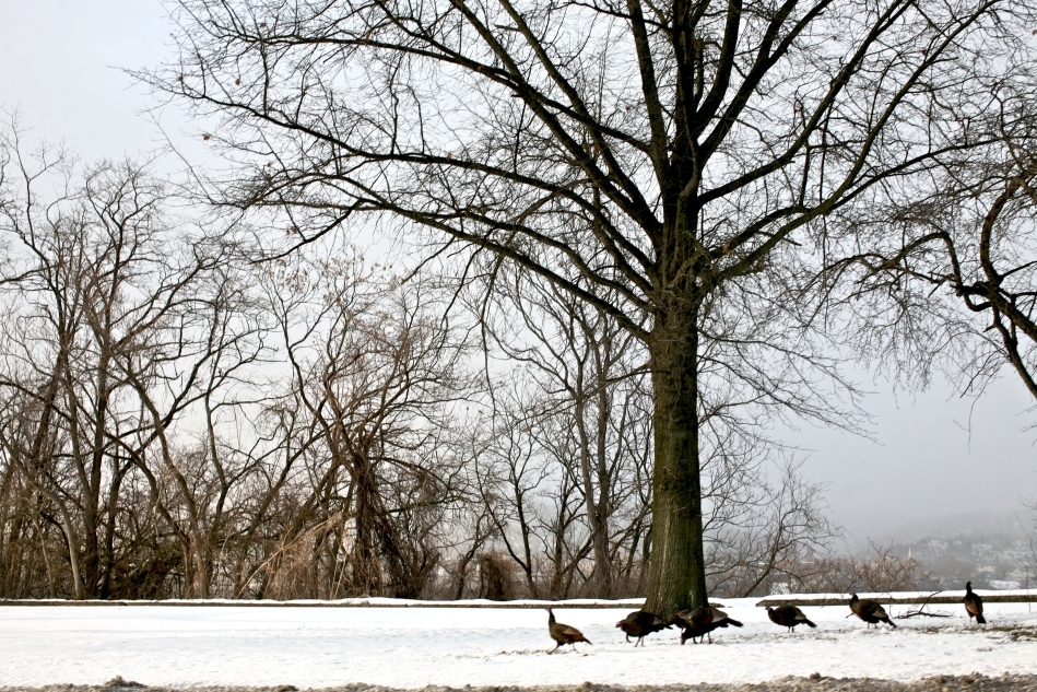 Wild Turkey in Urban Landscape