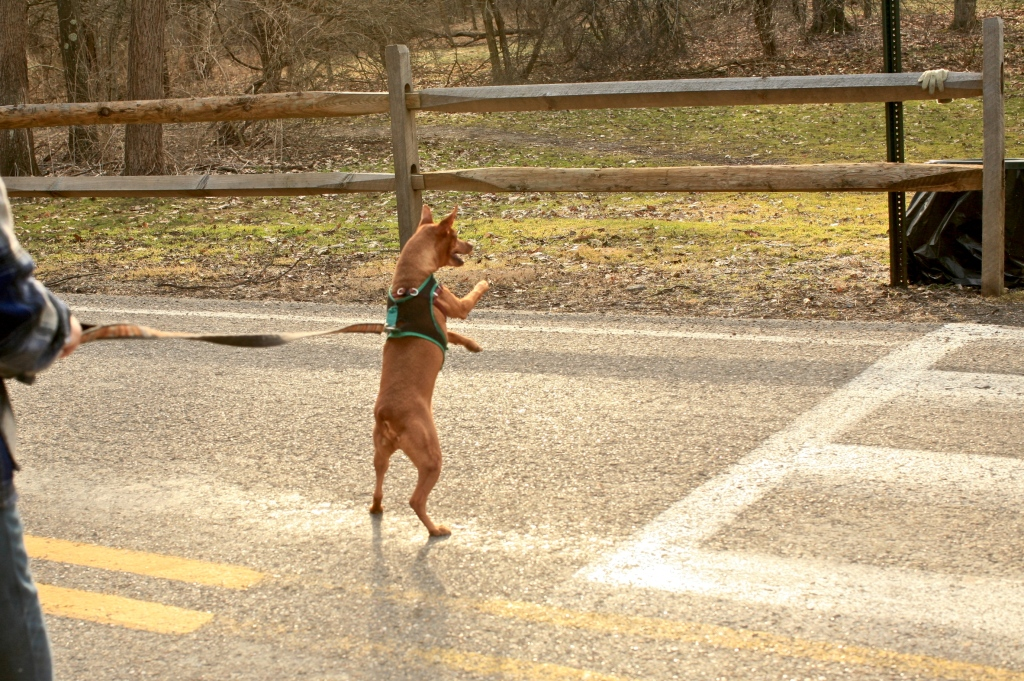 Min Pin Dog Running on Hind Legs like a circus dog