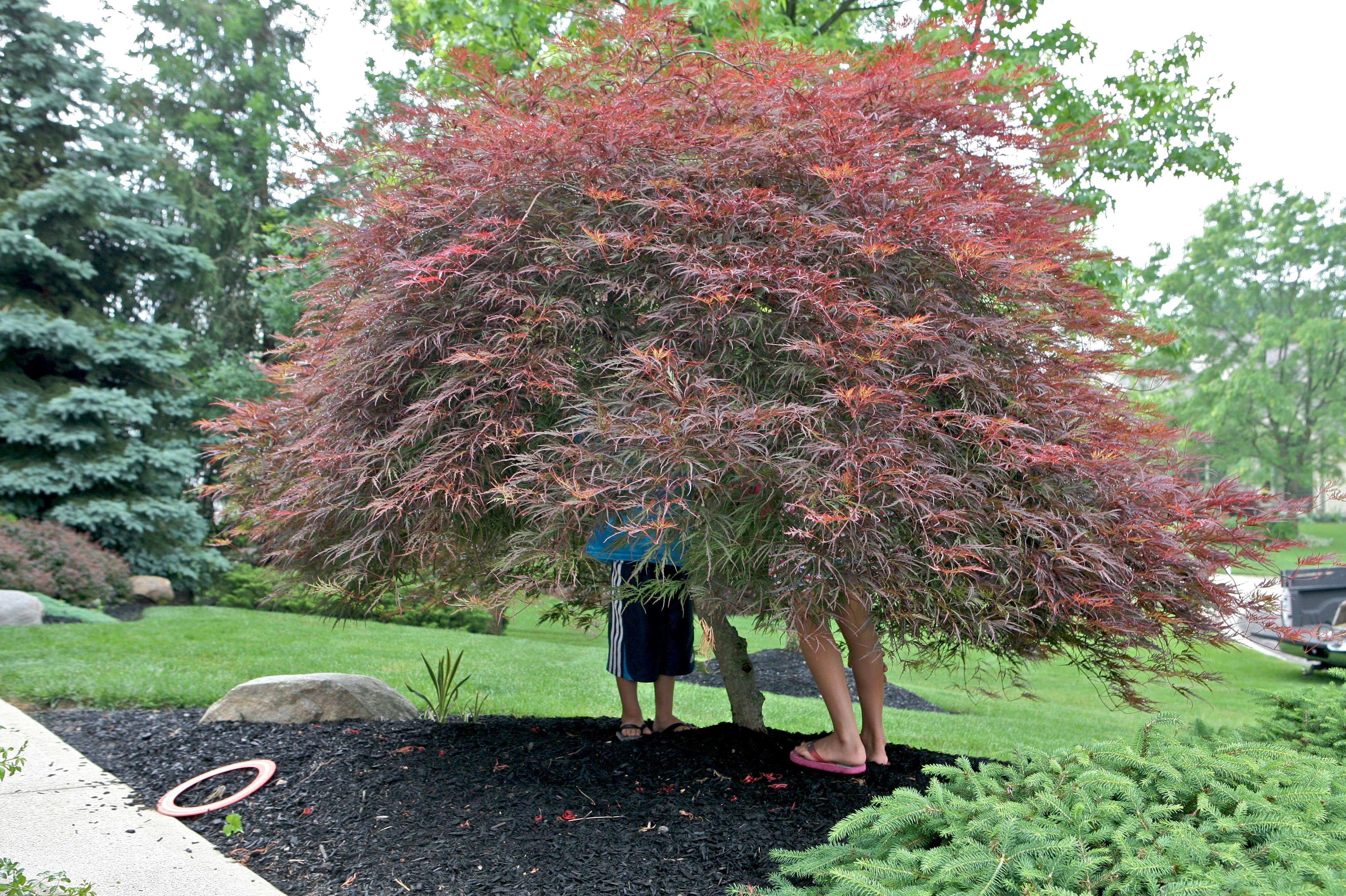 Under The Japanese Maple Tree Ruth E Hendricks Photography