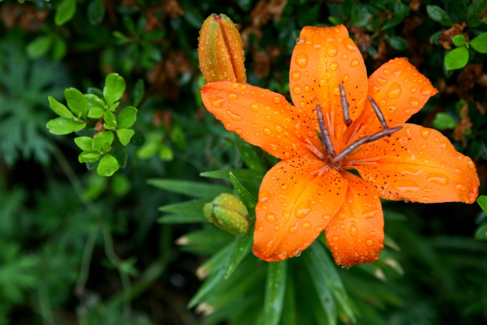 Giant orange lily with swollen raindrops sitting on the petals.