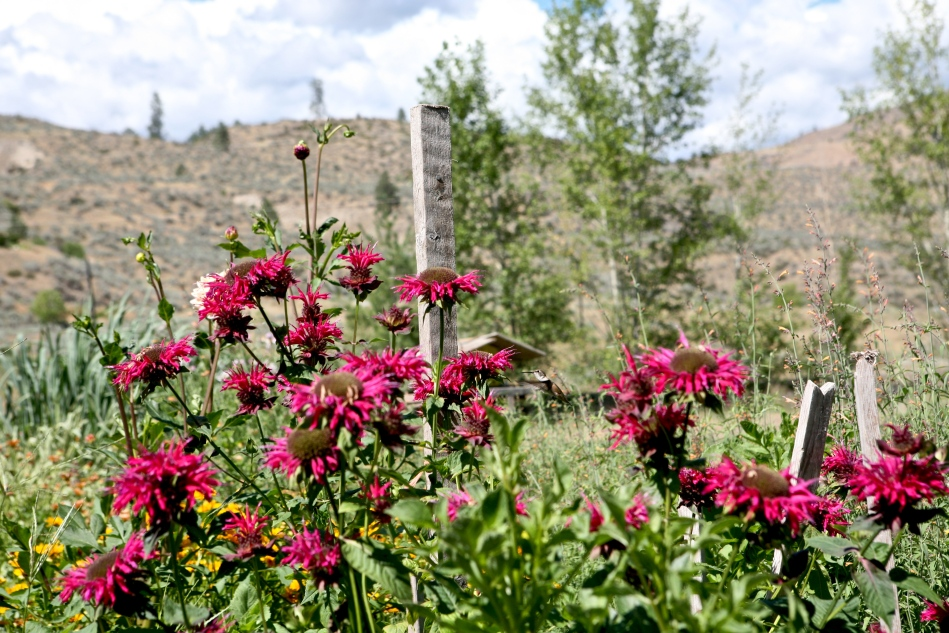 Okanogan WA vacation. Monarda didyma(Bee Balm) attracts hummingbirds.