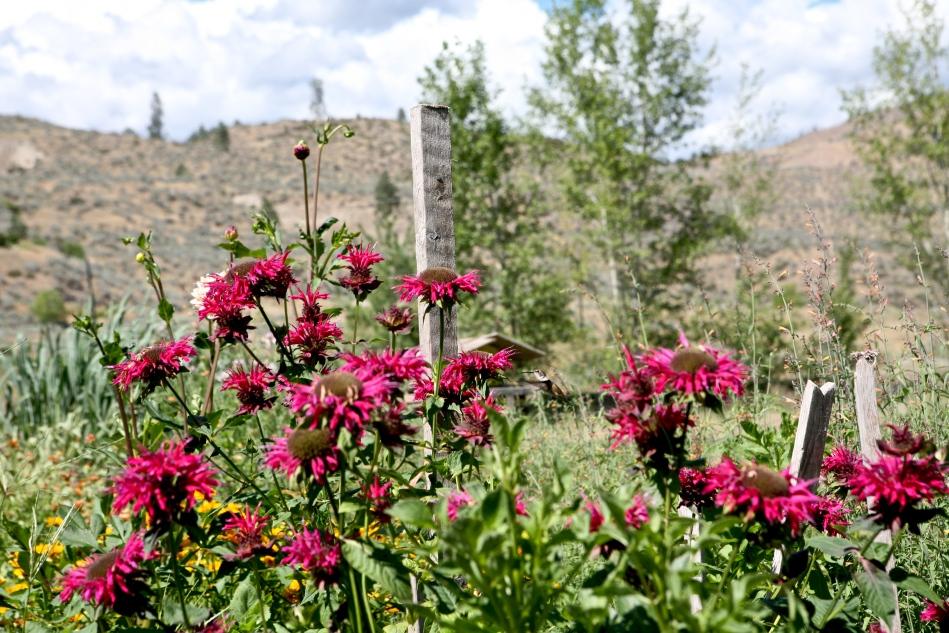Okanogan WA vacation. Monarda didyma(Bee Balm) attracts hummingbirds.