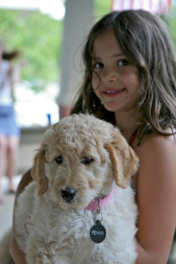 Goldendoodle Puppy Nine Weeks Old