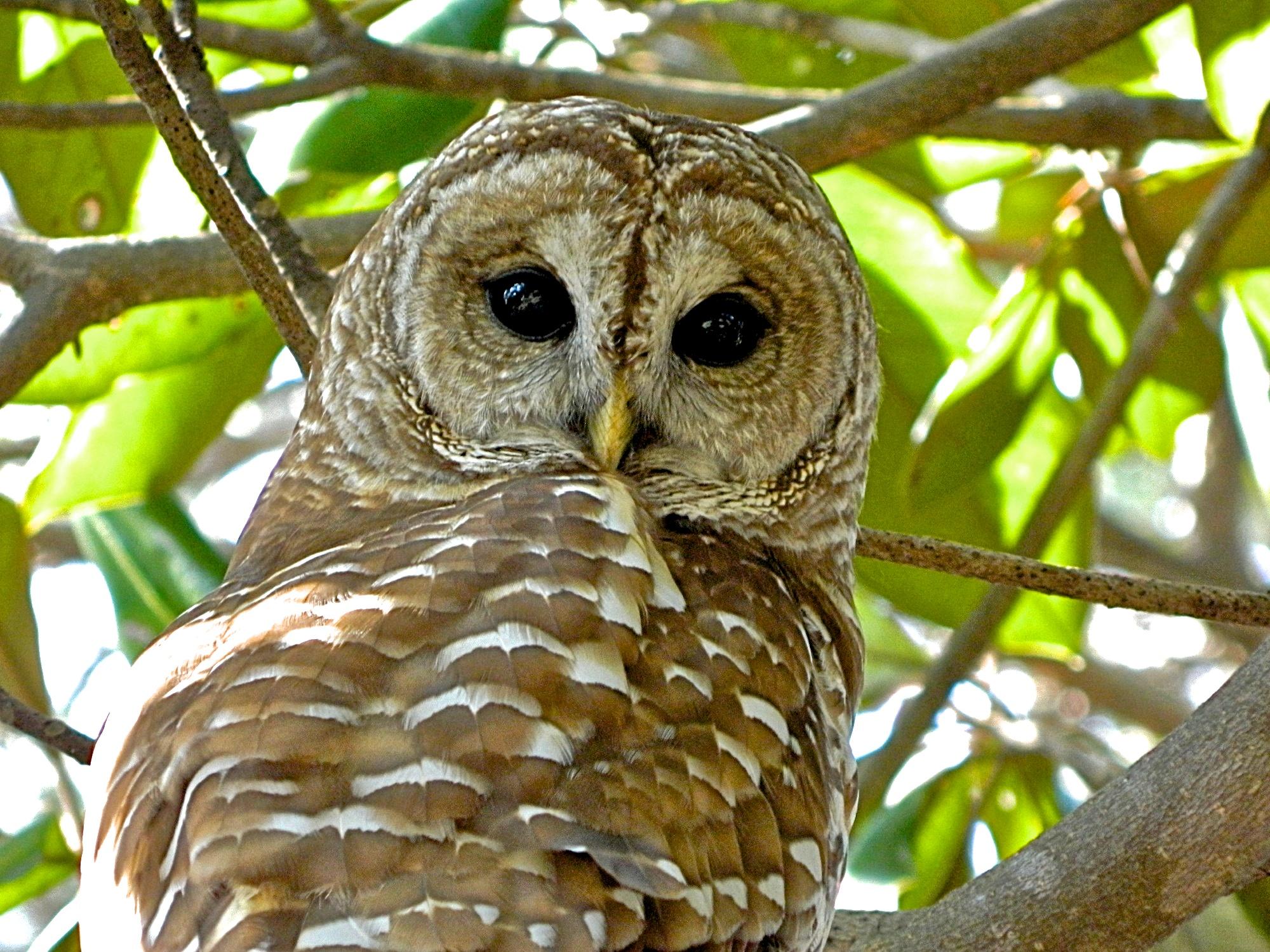 Owls of Florida - YouTube