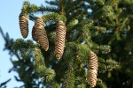 Pine Cones Renewal Close up