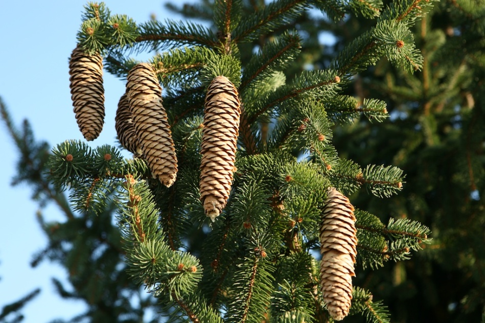 Pine Cones Renewal Close up