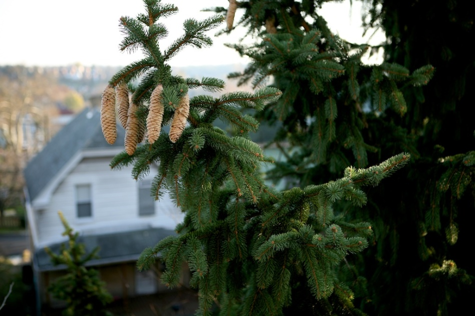 Pine Cones Renewal
