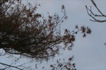 pine tree detail two