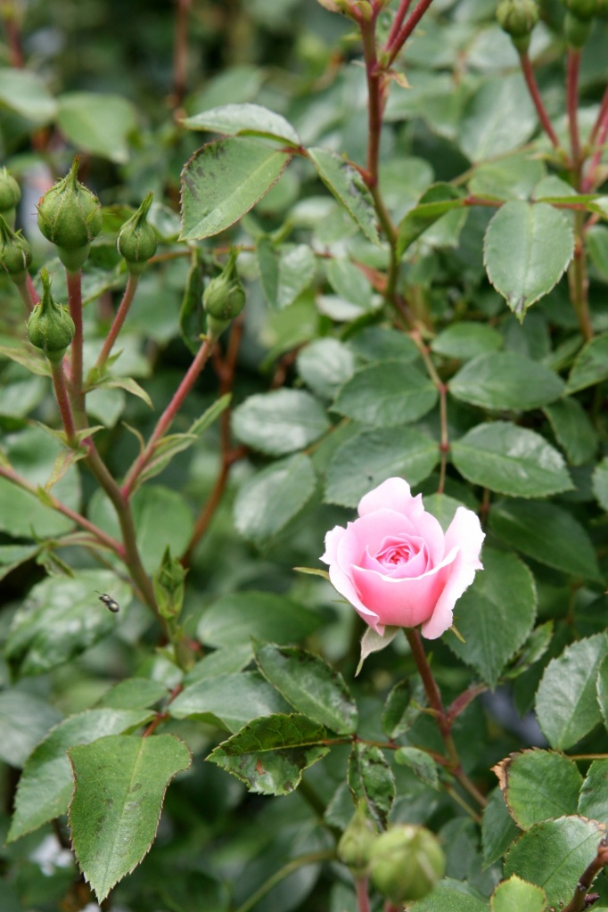 Last Year's Rose