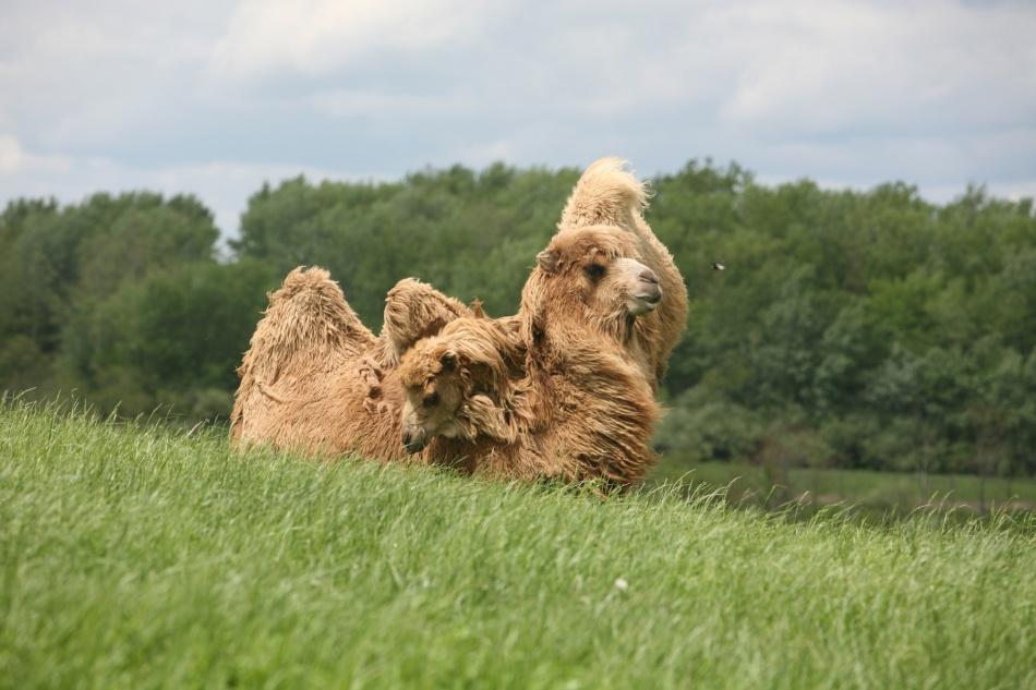 Bactrian Camel