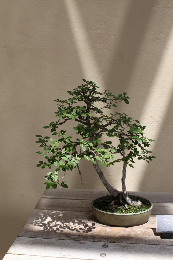 Bonsai Tree Brooklyn 3 (3)