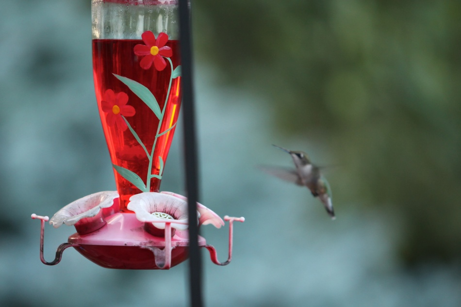 Hummingbird about to drink