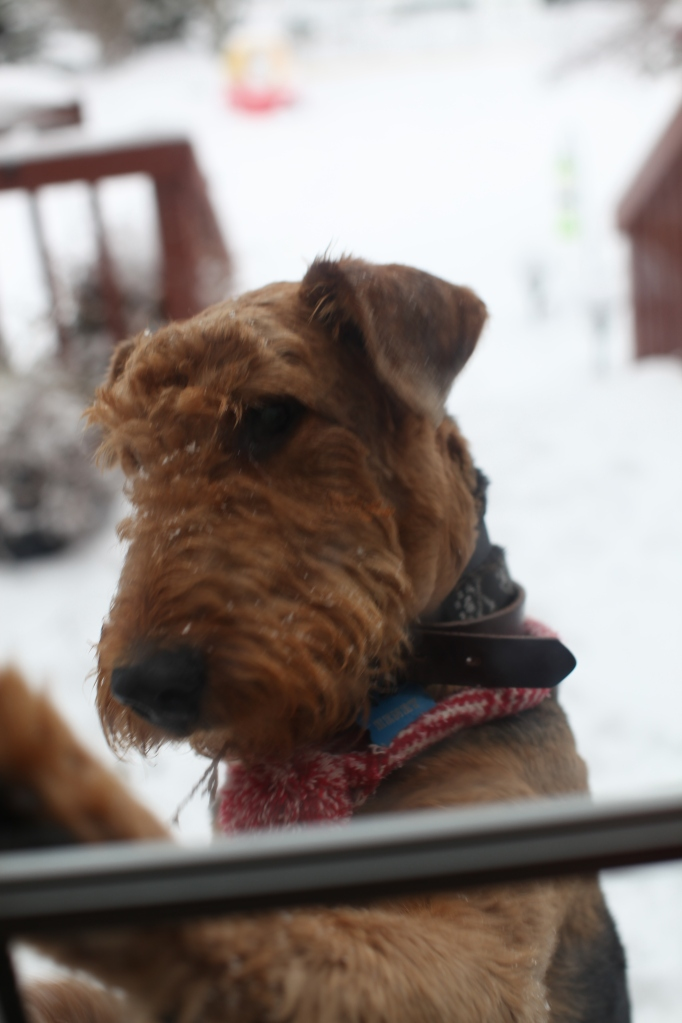 Airedale in the SNow