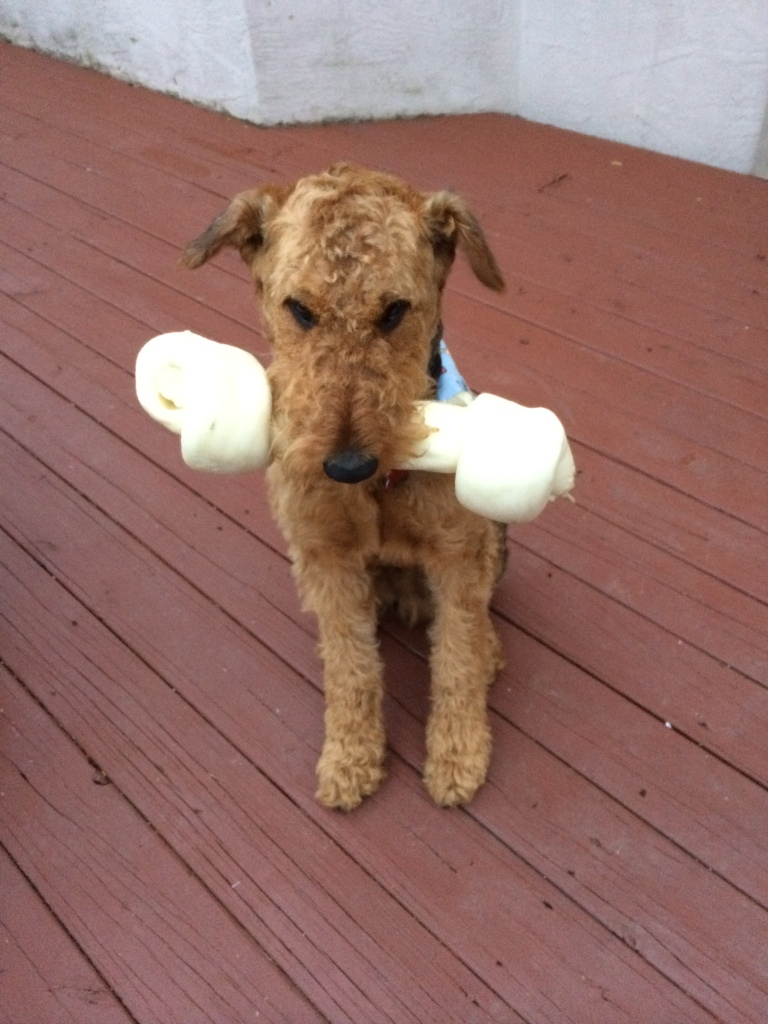 Henry the Airedale and his bone