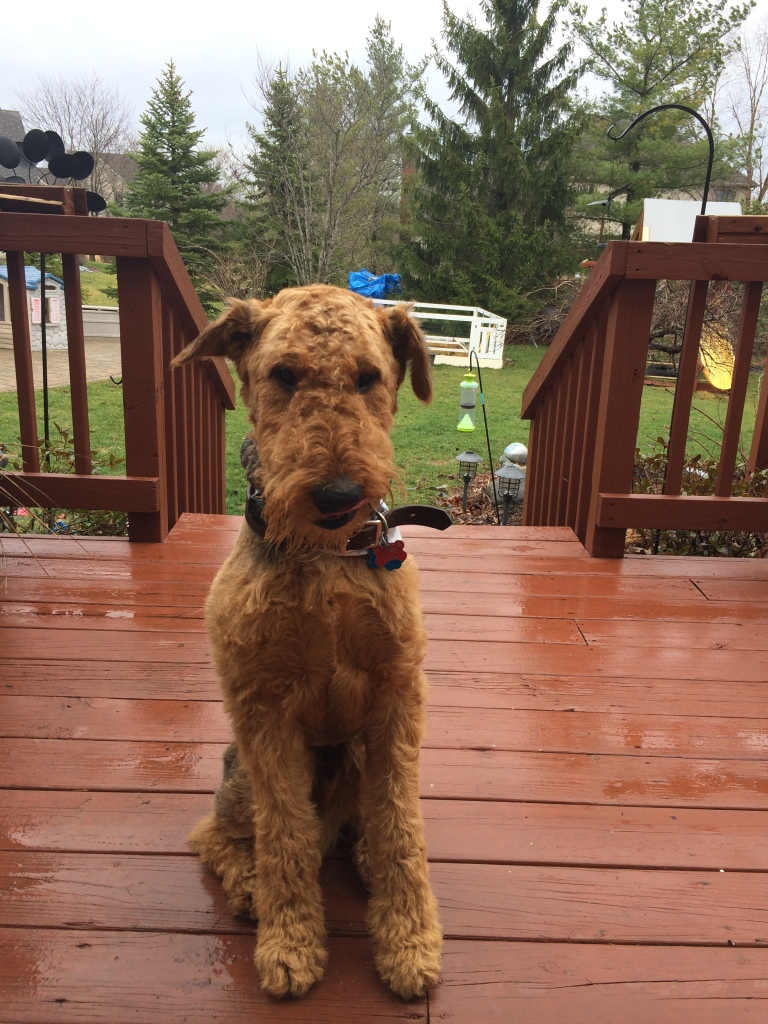 Henry the Airedale on a rainy deck