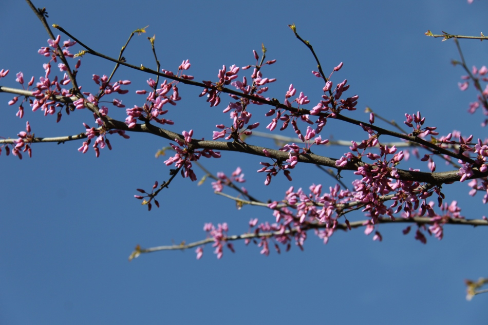 Eastern Redbud in Bloom