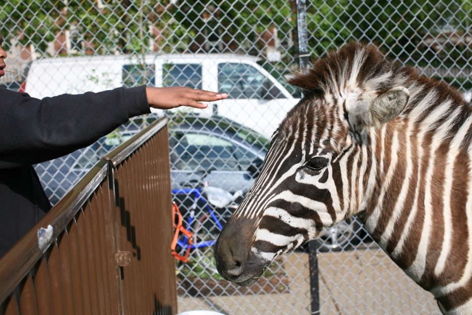 reach to pet the zebra