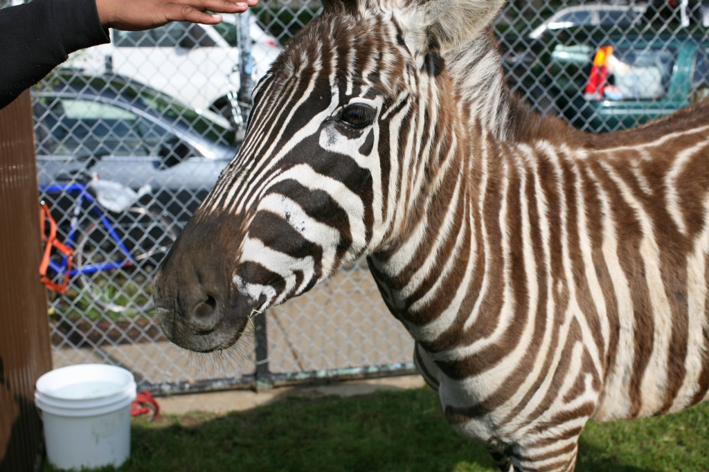 pet the zebra