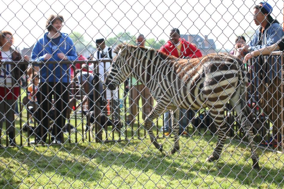 lines and zebra