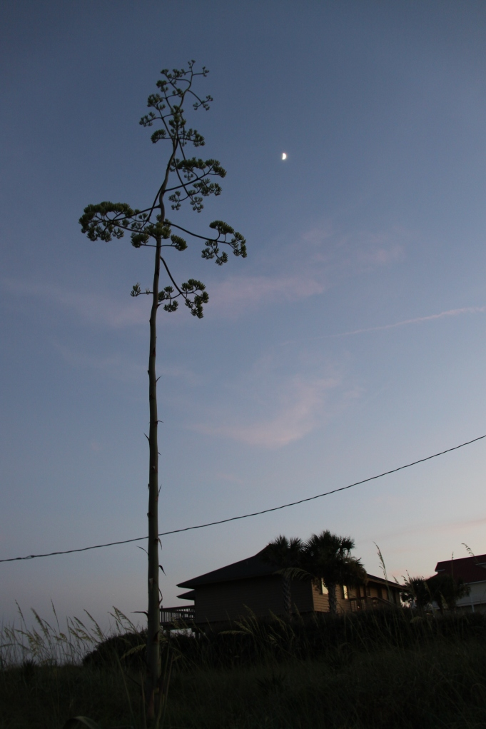 American Agave with moon