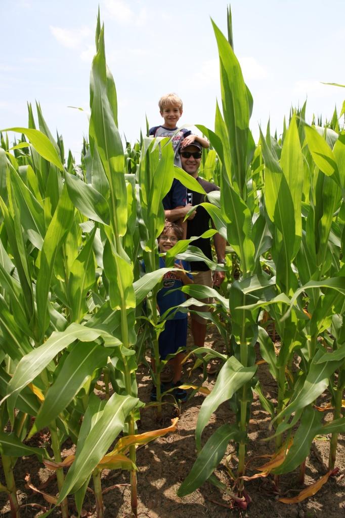 in the corn (1)