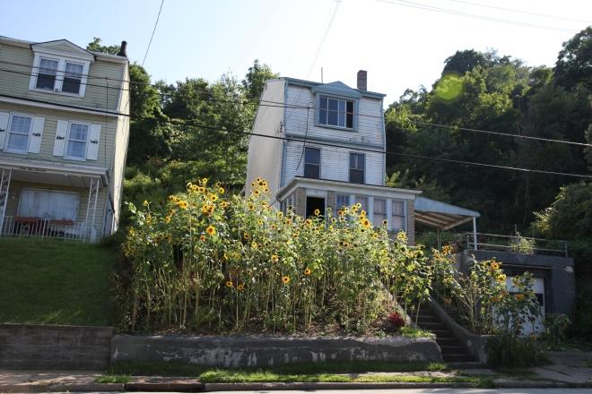 sunflower front yard
