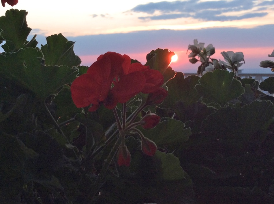 red flower sun Anna