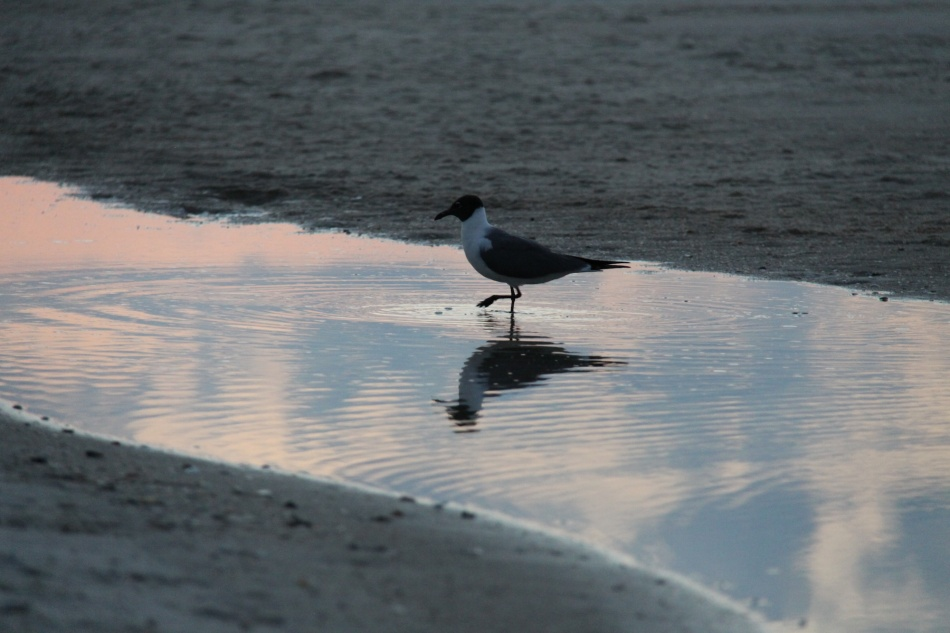 sunrise St George gull