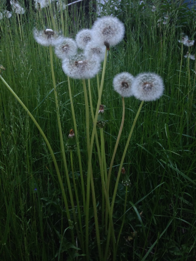 Dandelions gone to seed