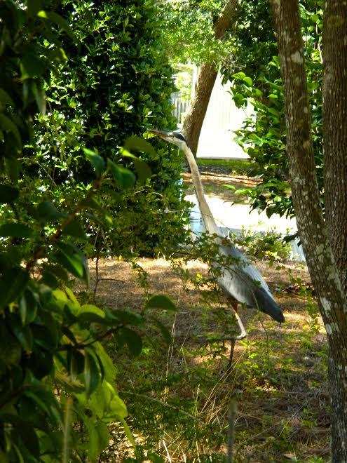 blue heron1