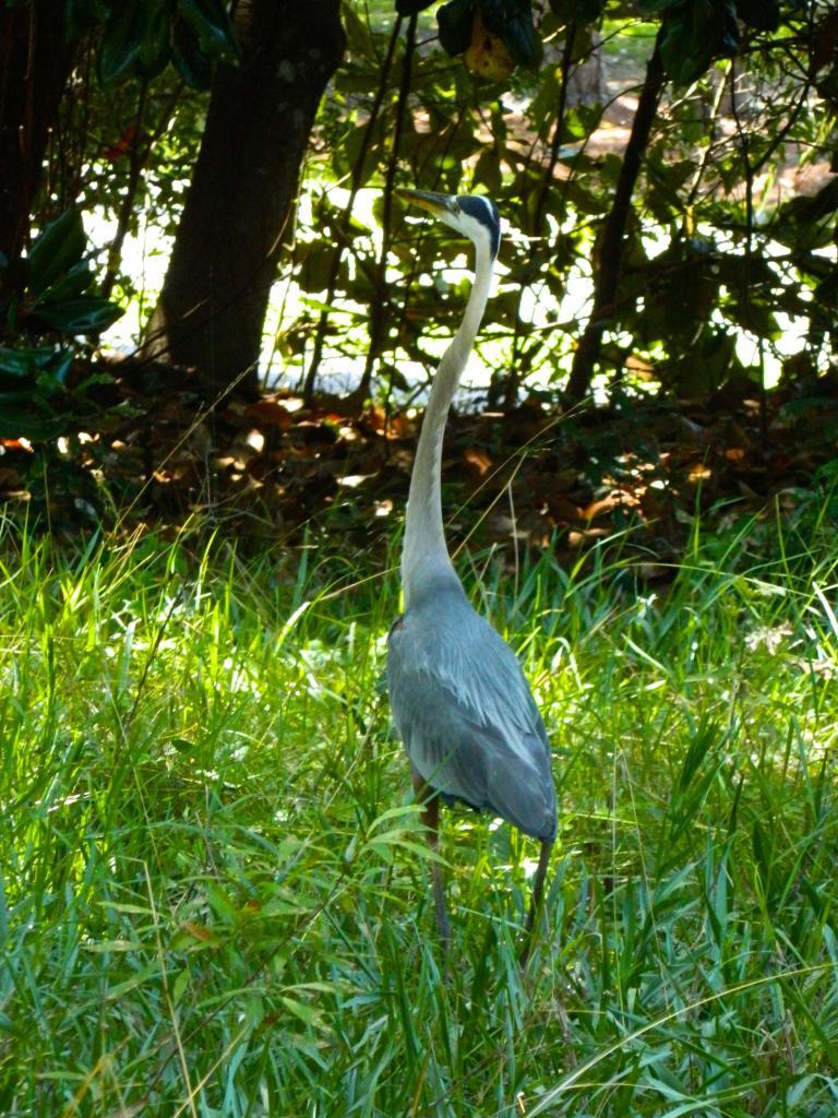 Shuey heron
