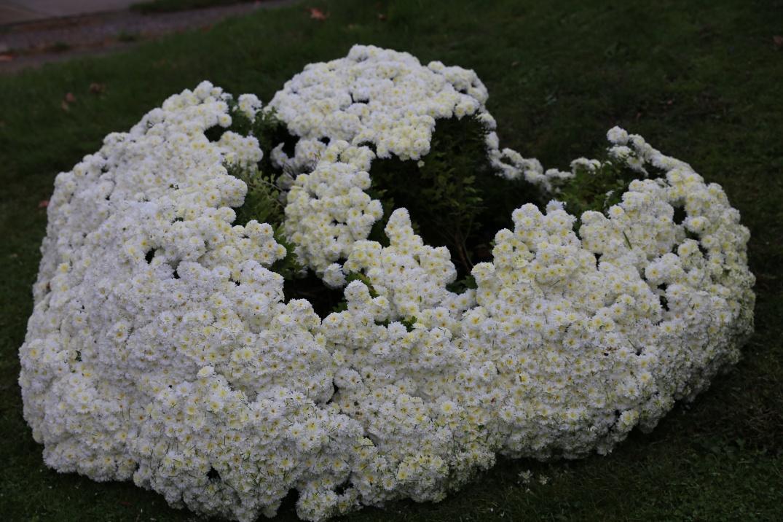 cauliflowerchrysanthemums